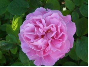 Une rose au nom de l'archiduc Joseph