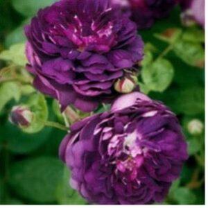 Une rose au nom du Cardinal Richelieu