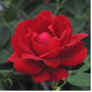 Une rose au nom de Champlain