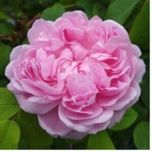 Une rose au nom de Jacques Cartier