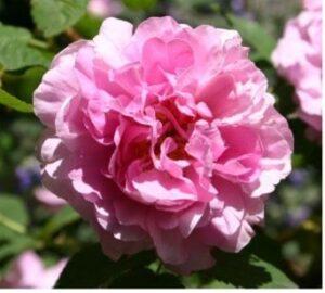 Une rose au nom de l'impératrice Joséphine