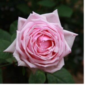 Une rose au nom de la France