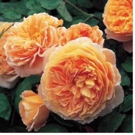 Une rose au nom de la princesse Margaret